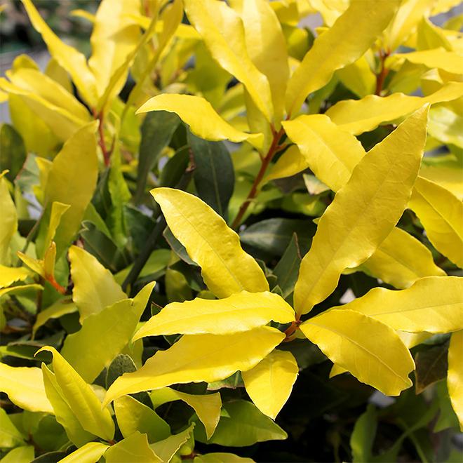 Sunshine(R) Bay Leaves, Proven Winners, #1