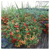 "Potted Annual Plants - 16"" - Various Colours"