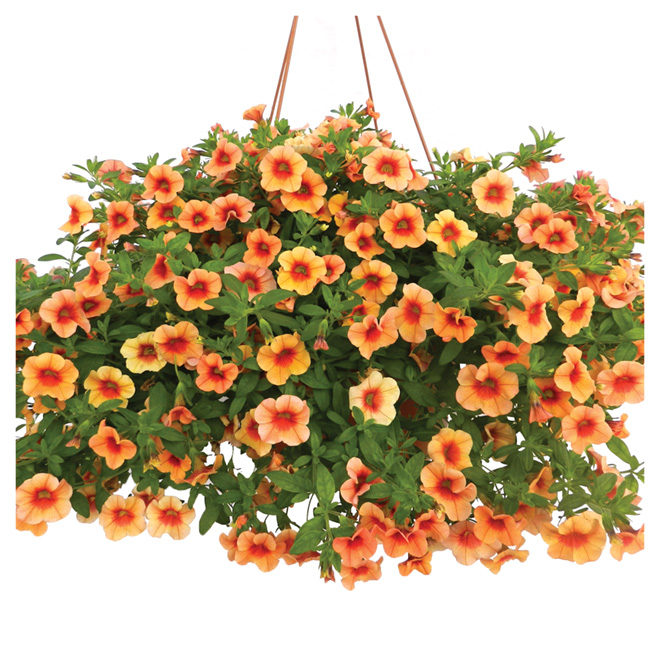 Hanging Basket of Assorted Annuals - 10-in