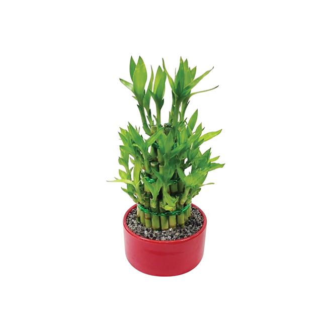 3-Tier Bamboo - Morgan Creek Tropicals - Red or Black Ceramic Pot
