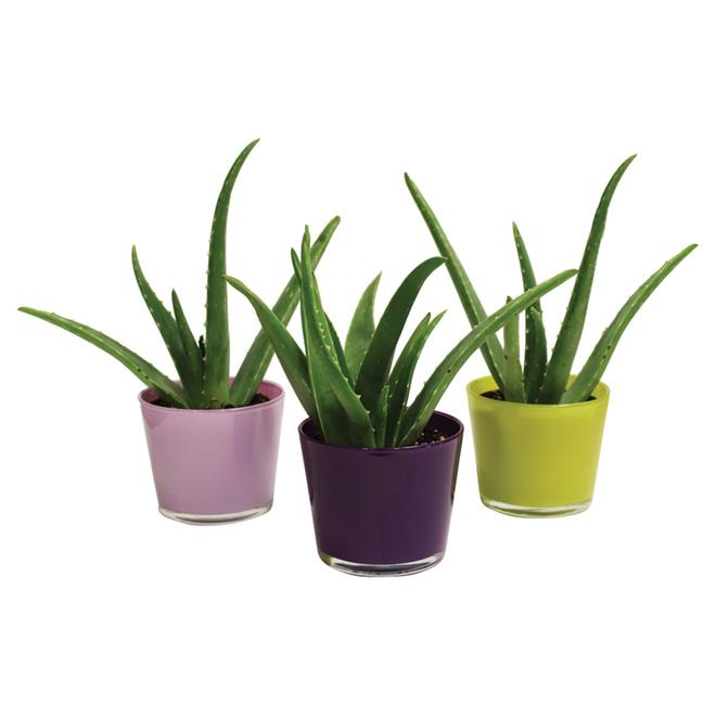 Morgan Creek Tropicals Aloe Vera - Assorted Euro Glass Pot - 4-in