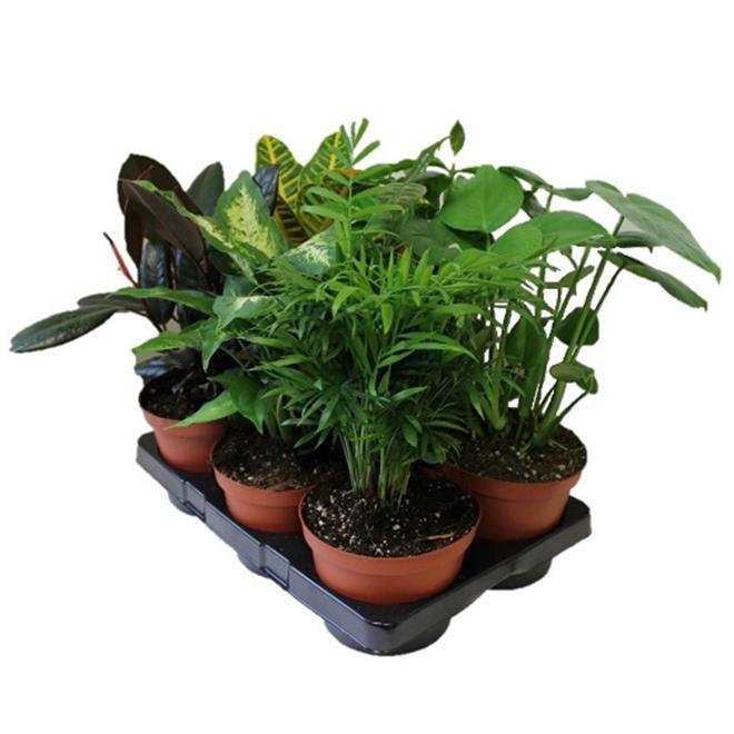 Plante tropicale assortie, Morgan Creek Tropicals, pot de 6 po