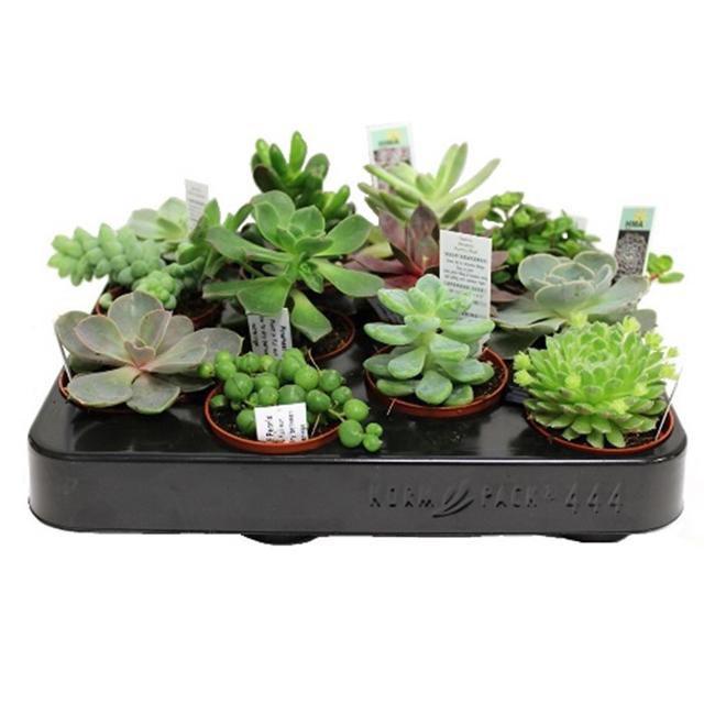 Morgan Creek Tropicals - Succulent Plant - 2'' - Assorted