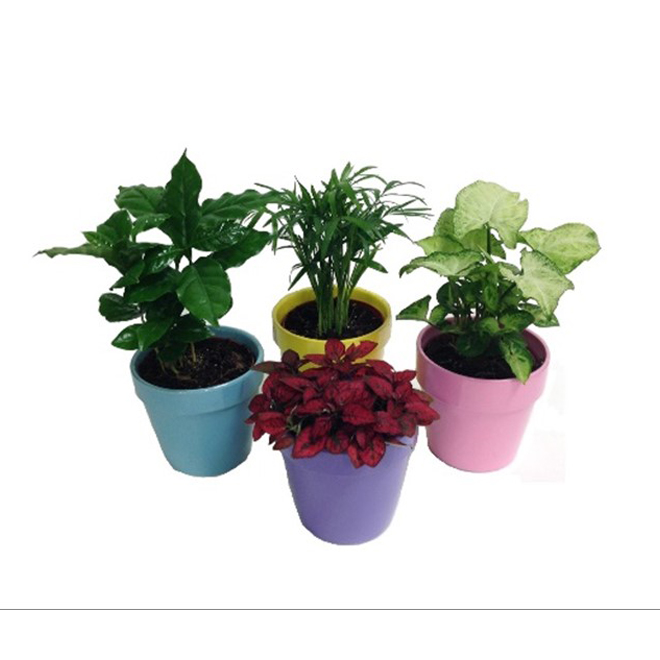 Assorted Tropical Plant - Morgan Creek Tropicals - 6-in Ceramic Pot