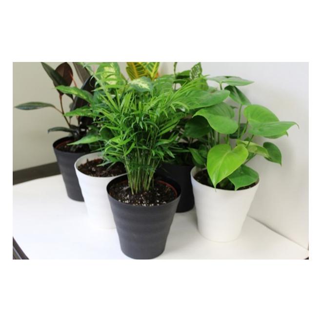 Morgan Creek Tropicals - Tropical Plant - 6'' - Assorted