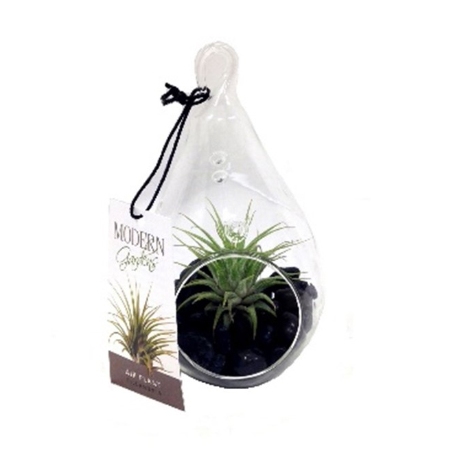 Drop Terrarium with Tillandsia - Morgan Creek Tropicals - 3-in x 5.5-in