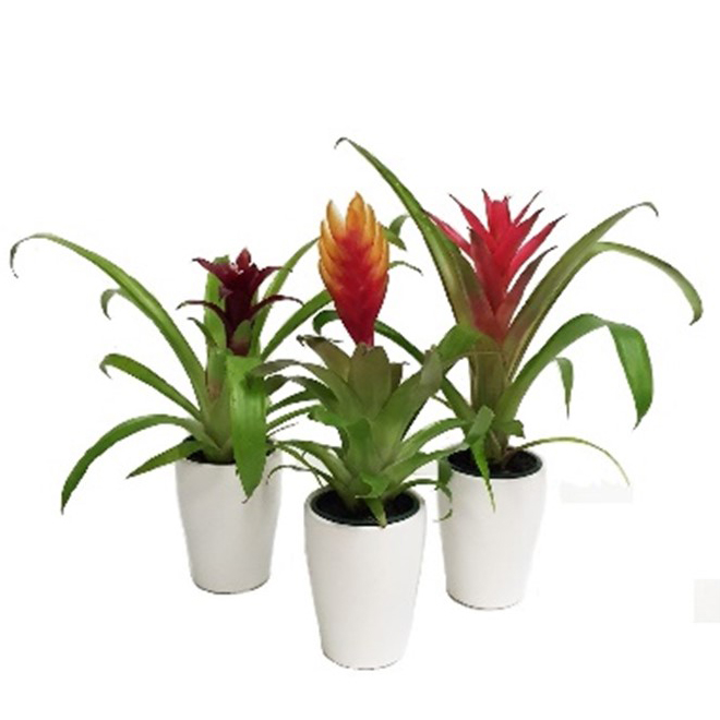Morgan Creek Tropicals - Bromeliad - 8'' - Assorted Colours