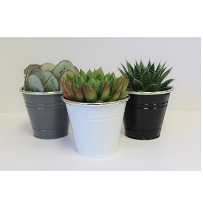 Assorted Succulents - Morgan Creek Tropicals - Metal Pot - 4-in x 5-in