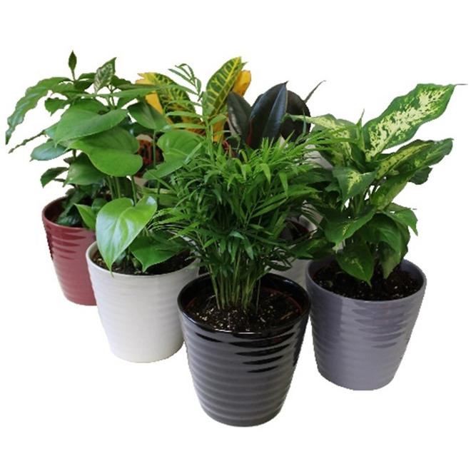 """Assorted Tropical Plants - Ceramic Pot - 6"""" x 9"""""""