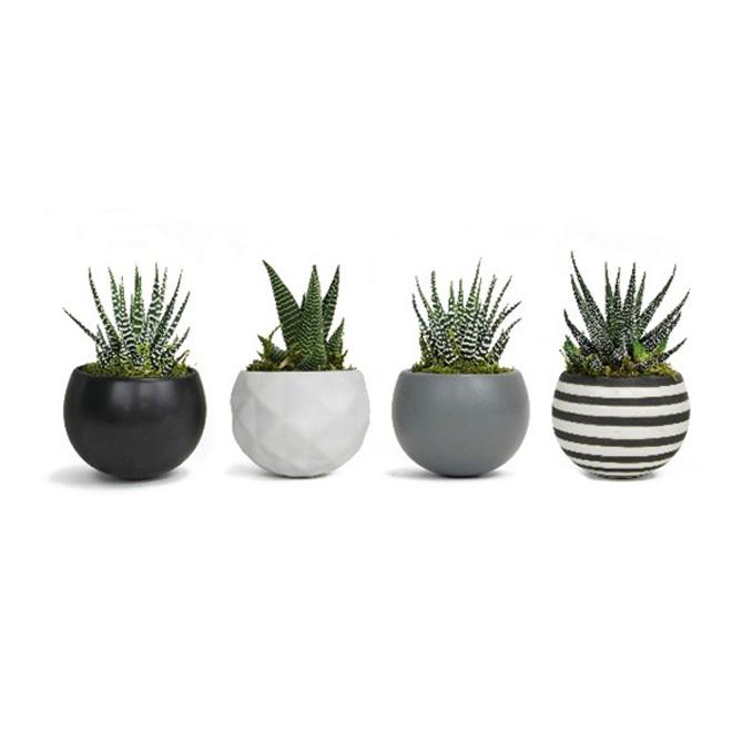 "Assorted Succulent Plants - Neo Classic - 3"" x 5"""