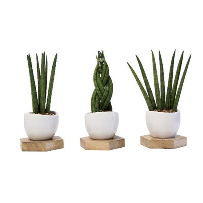 """Assorted Succulent Plants - Unison - 3"""" x 7"""""""