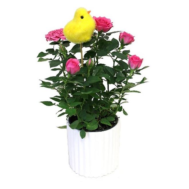 Morgan Creek Tropical - Mini Rose - Ceramic Pot - 4''