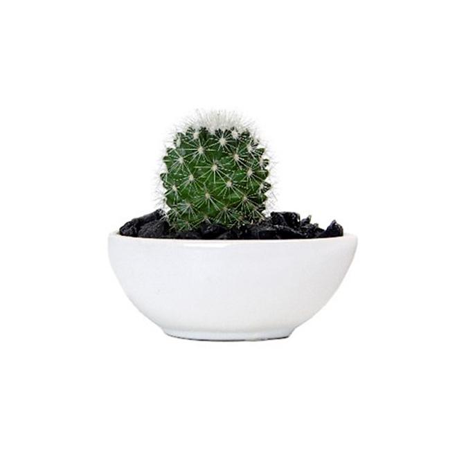 "Cactus moderne, 4,5"""