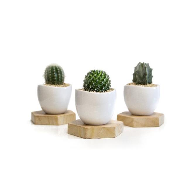 "Cactus assortis, pot de 5"""