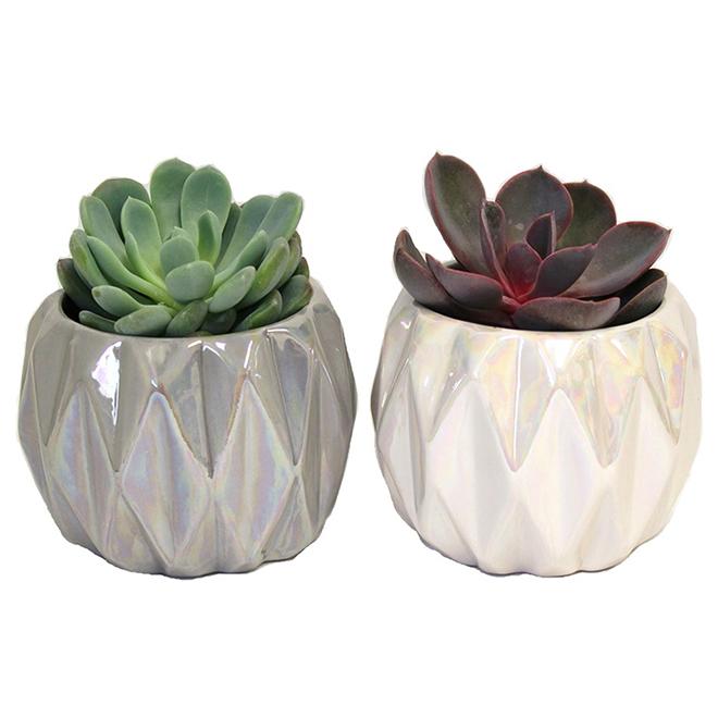 Assorted Succulent Plants - Ceramic Pots