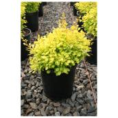Berberis Aurea Nana - 1-Gallon Container