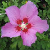 Rose of Sharon - Assorted Colours - 2-Gallon Container