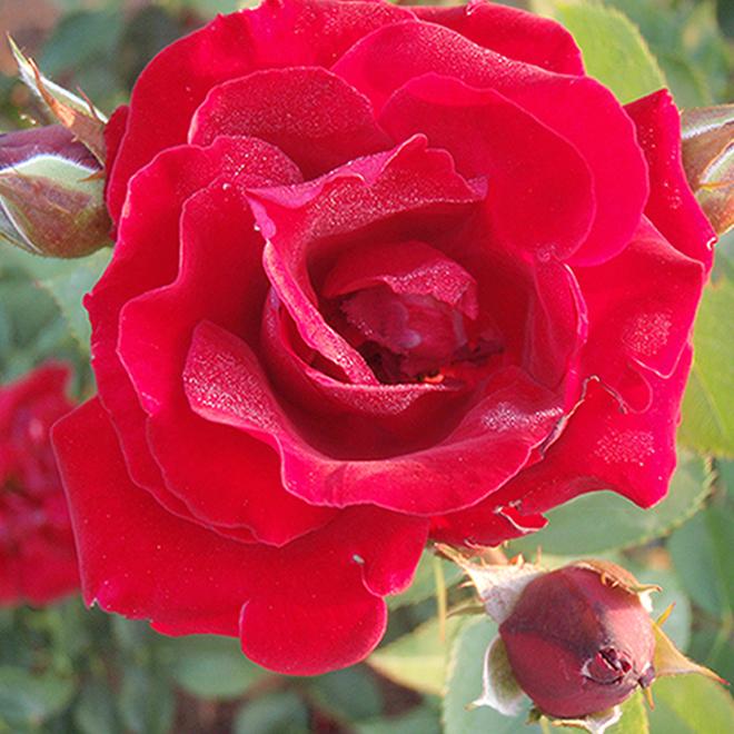 Rose 2 gallons couleurs assorties