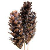 Natural Strobus White Pine Cones - Assorted