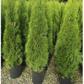 Emerald Cedar - 1-Gallon Container