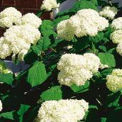 Assorted Hydrangea - 2-Gallon Container