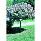 Standard Lilac 7 Gallon Pink, Green
