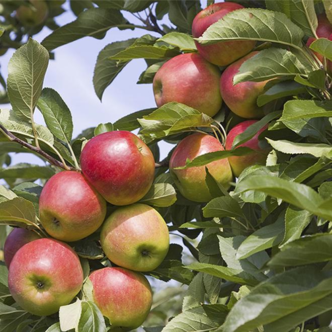 Apple Tree - 5-Gallon Container