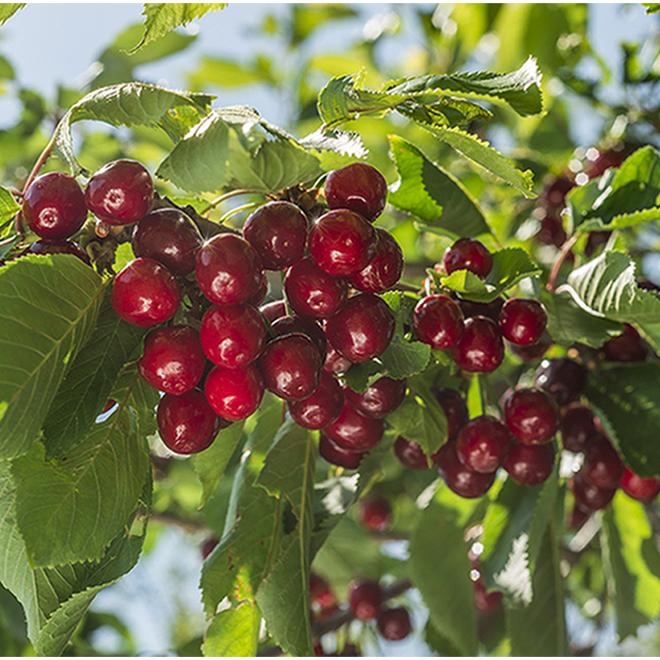 Cerisier, contenant de 5 gallons