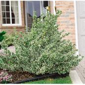 Assorted Euonymus - 2-gal. Container