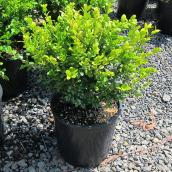Assorted Boxwood - 3-Gallon Container