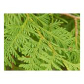 Green Plus Nurseries Natural West Cedar Branches - Green - 2 lb