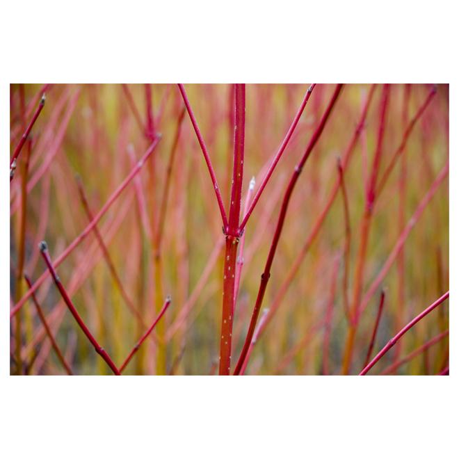 Branches naturelles de 3 à 4 pi, rouge, paquet de 6