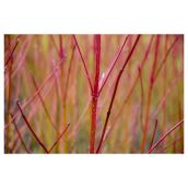 Natural Branches - 3 to 4-ft - Red - Pack of 6