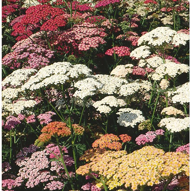 Assorted Perennial - 3.5-in Grower Pot
