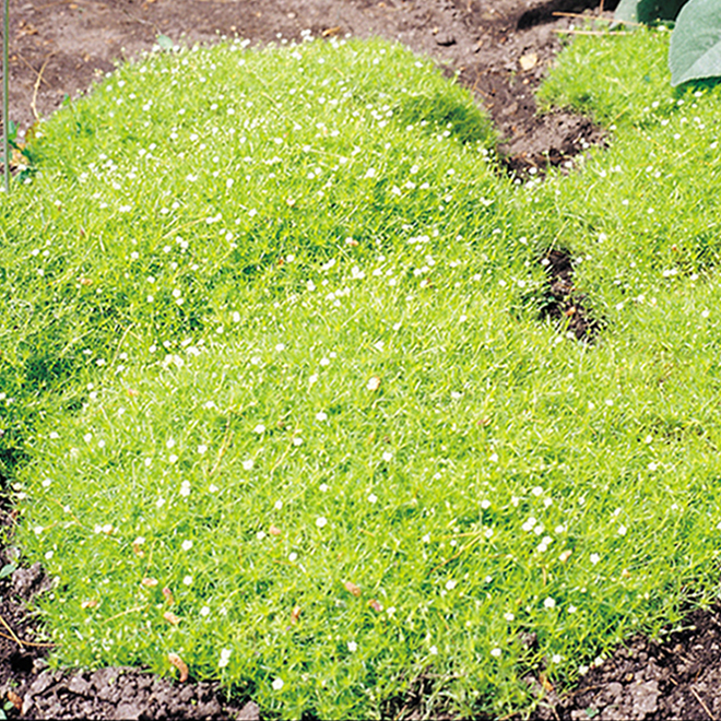 Green Plus Nursery - Assorted Ground Cover Perennials - 2-Gallon Grower Pot