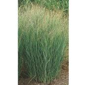 Assorted Grasses - 1-Gallon Container