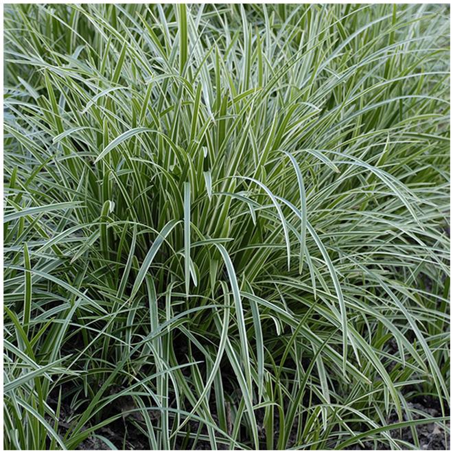 Green Plus Assorted Grasses - 2-Gallon Grower Pot