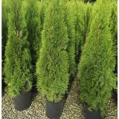 Emerald Cedar - 5-Gallon Container