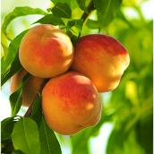 Peach Tree - 5-gal. Container