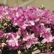 Rhododendron, Green Plus, 1 gallon, assortie