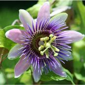 Passiflora Vine - 1-Gallon Container