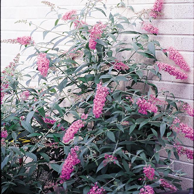 Arbuste aux papillons, contenant de 2 gallons