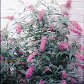 Butterfly Bush - 2-Gallon Container