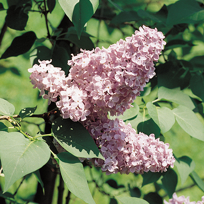 Assorted Lilac - 2-Gallon Container