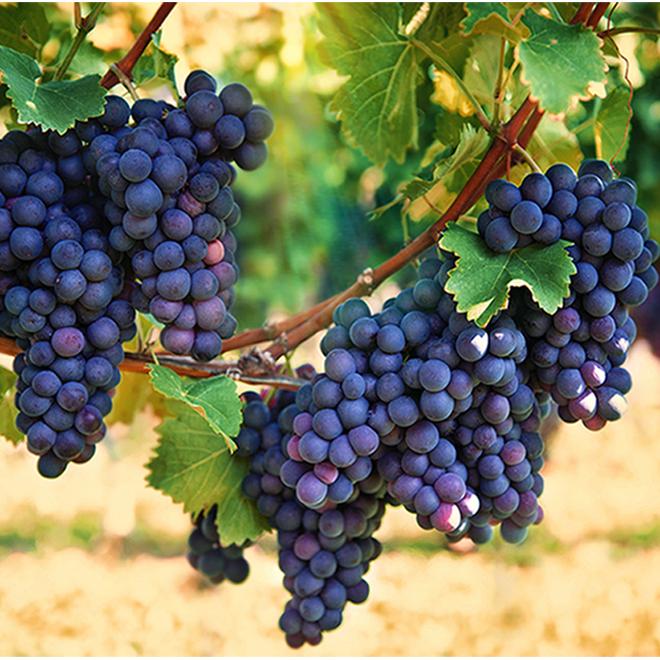 Assorted Grape Vine - 1-Gallon