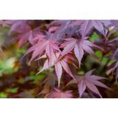 Érable Japonais de Green Plus, pot de 2 gallons