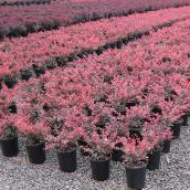 Rose Glow Berberis, contenant 1 gallon