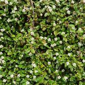Arbuste Cotoneaster assorti, contenant de 2 gallons