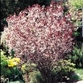 Prunus Cistena Sandcherry - 2-Gallon Container