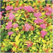 Assorted Spirea - 2-Gallon Container